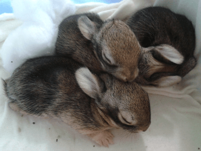 Immature rabbits
