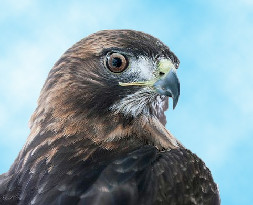 Buddy the Red-tailed Hawk Ambassador