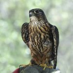 Jack, a Merlin Falcon