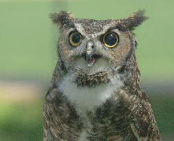 Max the Great Horned Owl Ambassador