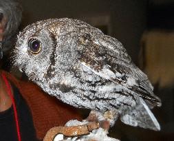 Misty the Western Screech Owl Ambassador