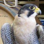 Morro the Peregrine Falcon Ambassador