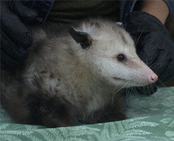 Cricket the Virginia Opossum Ambassador