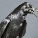 Corax the Common Raven Ambassador