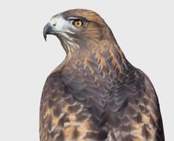 Denali the Red-tailed Hawk Ambassador