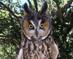 Oberon-Long-eared Owl