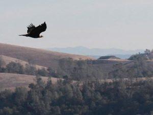 Eagle released in Creston