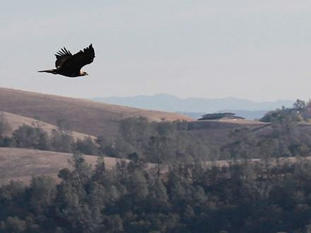 Eagle released in Creston