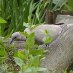 Eurasian Collard-Dove (file photo)