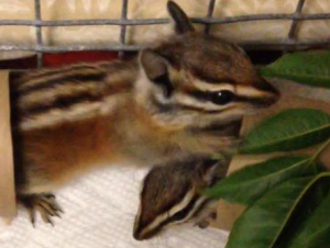 Merriam Chipmunks