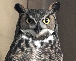 Alice-Great Horned Owl