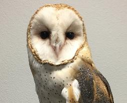Ginger-Barn Owl